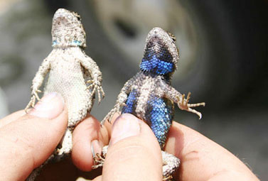 Blue bellied lizards